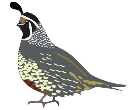 vector illustration of a quail isolated on white background.