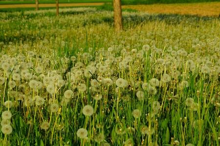 Spring flower field white dandelions photo