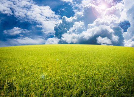 rice plant: Rice field on blue sky background.