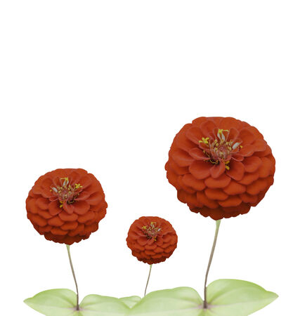 polyanthus: Red flowers on a white background. Stock Photo