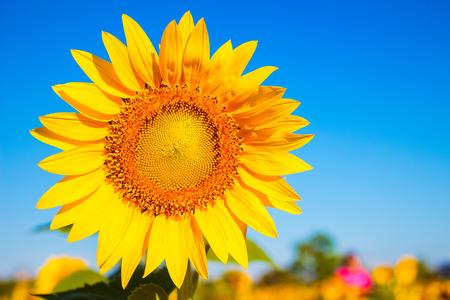semillas de girasol: Girasol en el jardín con el fondo del cielo. jardín de girasoles durante el día con la luz solar.