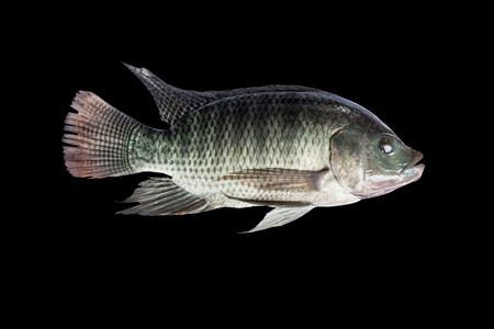 Tilapia fish isolate on black background
