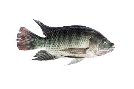 Tilapia fish isolate on white background