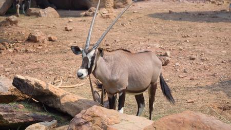 Gemsbok, Onyx gazelle,dominant Gemsbok antelope close up Imagens