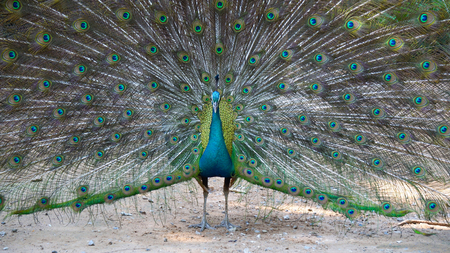 Beautiful peacock close-up in zoo thailand Stockfoto