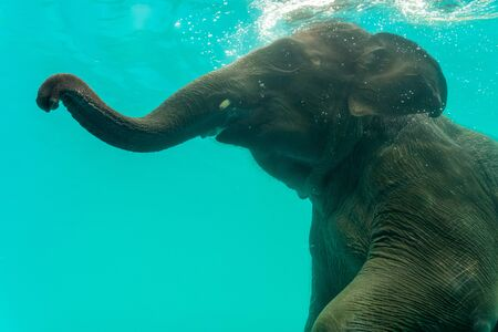 Elephant show swimming and blow the bubbles out of the trunk underwater