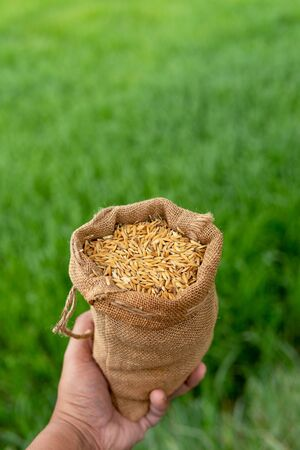 Hand bags of paddy sacks green rice background