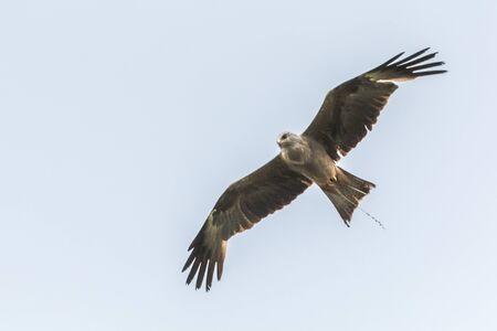 luft: Schwarzmilan im Flug Stock Photo