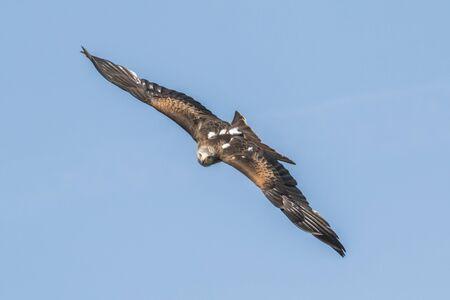 luft: Fliegender Rotmilan Stock Photo