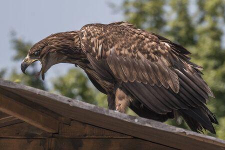 luft: Seeadler Porträt