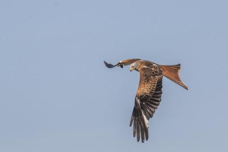 Fliegender Rotmilan 写真素材