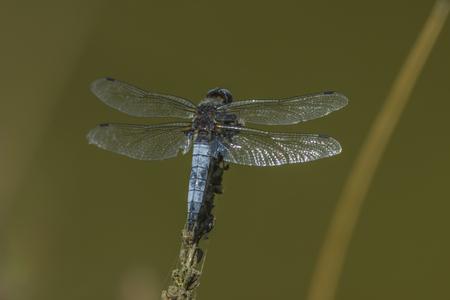 libellula: Spitzenfleck auf einem Ast Stock Photo