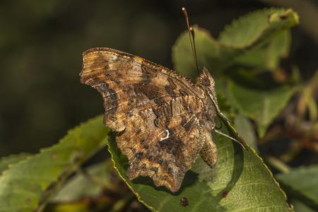 nymphalidae: C-Falter sitzt auf einem Blatt