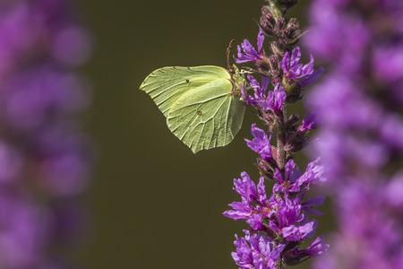 luft: Zitronenfalter sitzt auf einer Blüte