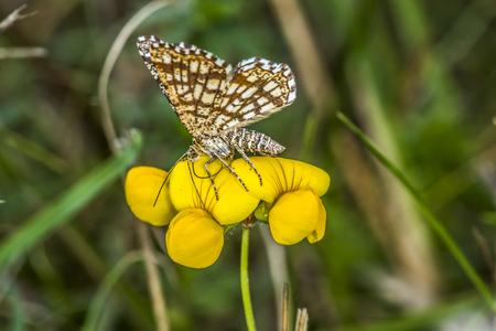luft: Kleiner Würfeldickkopf auf Hornklee-Blüte