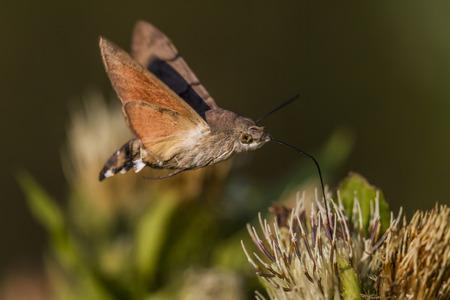luft: Taubenschwänzchen saugt an einer Pflanze