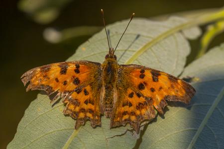 nymphalidae: C-Falter in rtlichen light of evening sun