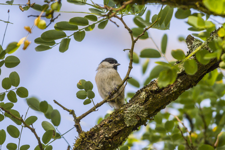 birdlife: Sumpfmeise hpft on a tree branch Stock Photo