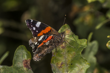 admiral: A red admiral is sitting on a leaf