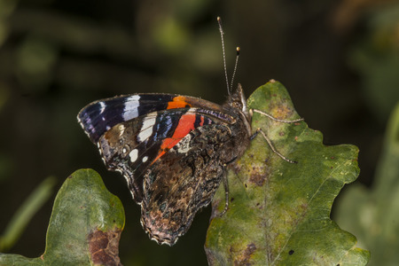 admiral: A red admiral with folded wings Stock Photo