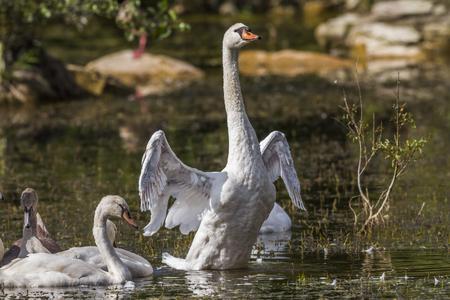 mute swan: A mute swan strokes his wings