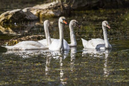 animal related: Young mute swans floating on a pond Stock Photo
