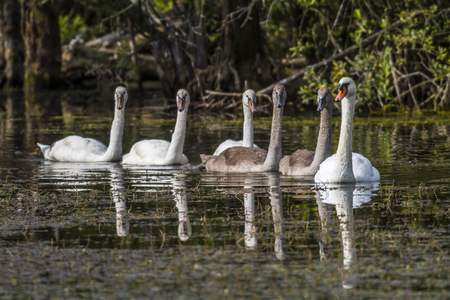 animal related: Mute swans floating on a pond Stock Photo