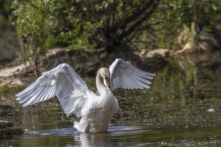 birdlife: A mute swan strokes his wings