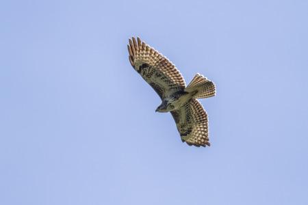 zopilote: Un halcón común en el vuelo