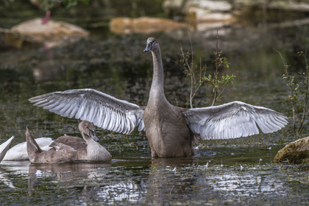 animal related: A young mute swan strokes his wings Stock Photo