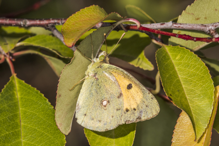 clouded: A pale clouded yellow is sitting on leaf