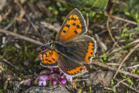 lycaena: A common copper is sitting on grass-stock