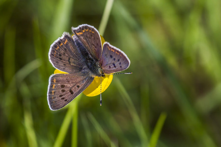 sooty: A sooty copper is sitting on flower