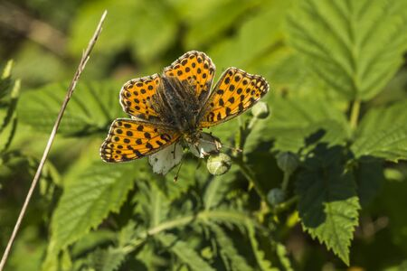 weavers: A Weavers fritillary is sitting on a leaf