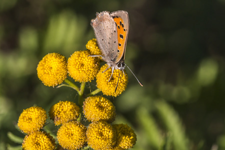 lycaena: A common copper is sitting on flower