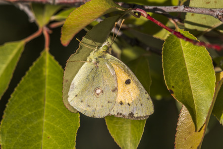 cloude: A pale yellow cloude is sitting on a leaf