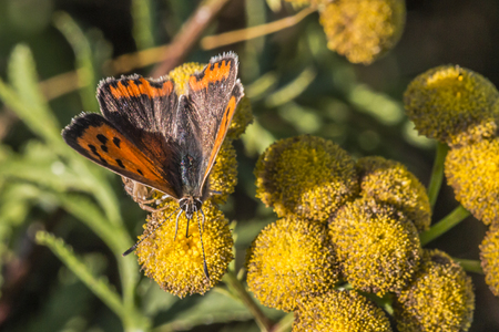 lycaena: A common copper is sitting on a flower Stock Photo