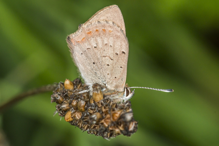 lycaenidae: A common copper is sitting on a grass-stock
