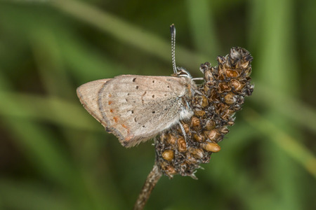 lycaena: A common copper is sitting on a grass-stock