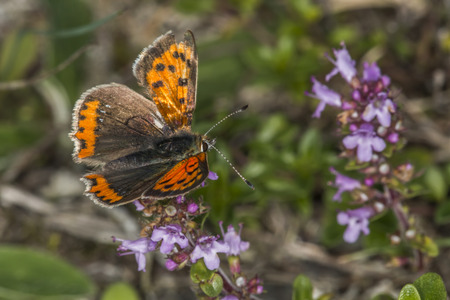 lycaenidae: A common copper is sitting on a flower Stock Photo