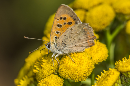 lycaena: A common copper is sitting on a yellow flower Stock Photo