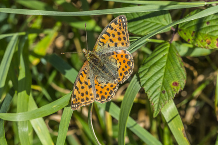 weavers: A Weavers fritillary is sitting on a grass-stock Stock Photo