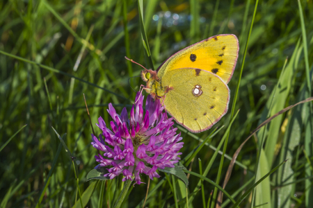 clouded: A Bergers clouded yellow is sitting on a flower