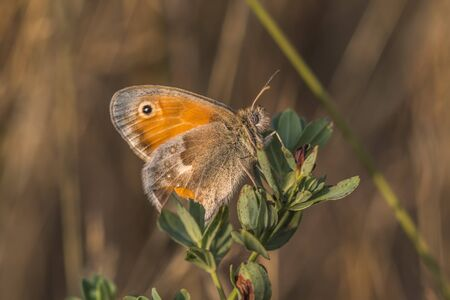 heath: A small heath butterfly is sitting on grass-stock