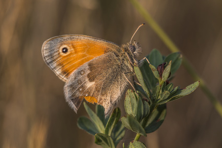 heath: A small heath butterfly is sitting on a grass-stock