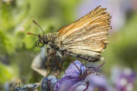 skipper: Large skipper on a flower