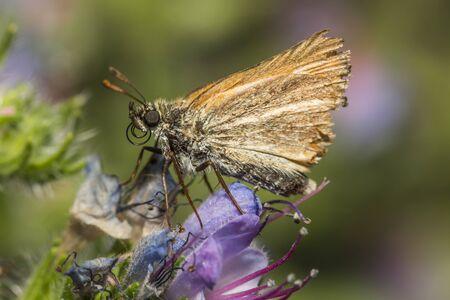 sylvanus: Large skipper on a flower