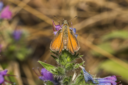 ochlodes: Large skipper on a flower
