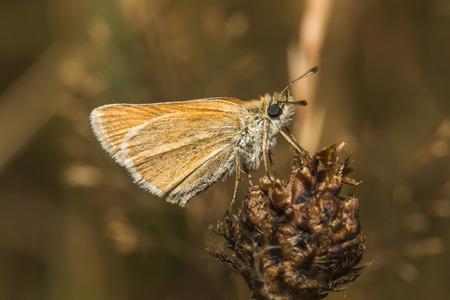 Large skipper on a flower