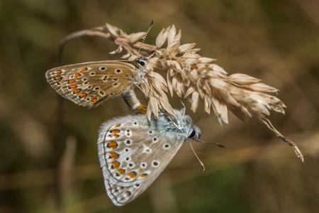 papillon: Deux bleus ordinaires par le copulation